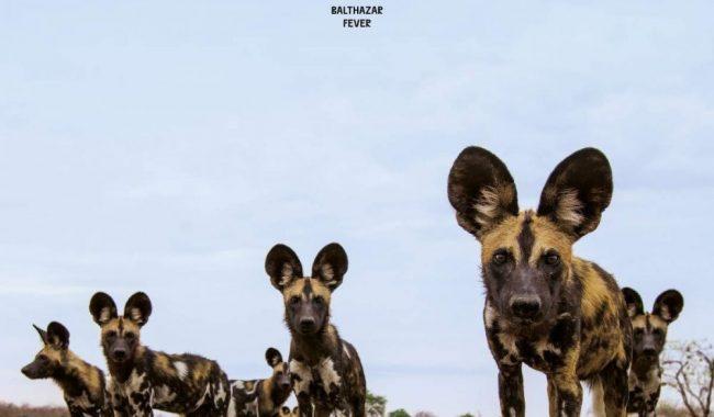 Balthazar Fever cover artwork
